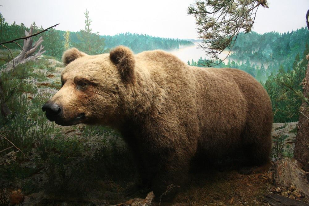 Medve a múzeumban - Fotó: Barna Béla